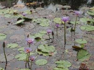 Lilyponds in Brisbane Botanical Gardens, Australia