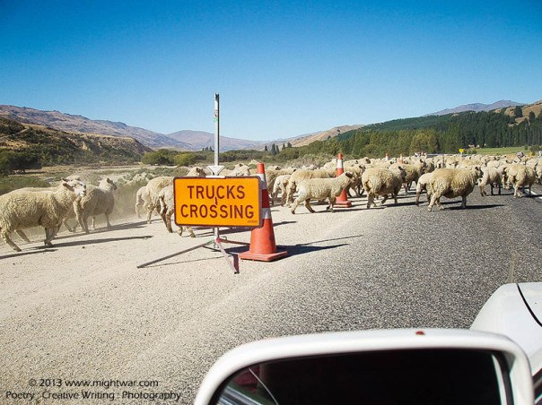 sheep-crossing-road