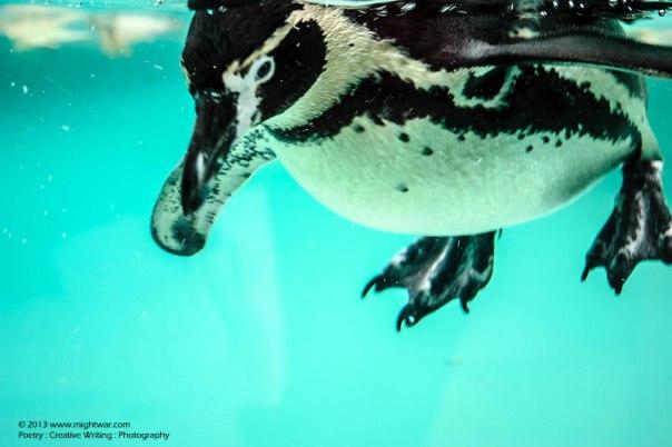 solitary-penguin